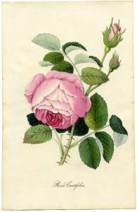 Vintage-Printable-Botanical-Rose-GraphicsFairy-sm-664x1024